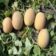 Карамель F1 семена дыни тип Ананас