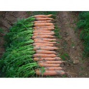 Лагуна F1 семена моркови Нантес (1,6-1,8)