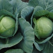 Артек F1 семена  капусты белокочанной средней