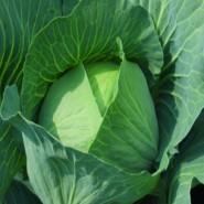 Бронко F1 семена капусты белокочанной средней