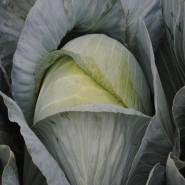 Гарантия F1 семена капусты белокочанной поздней