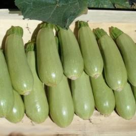 Асма F1 семена кабачка