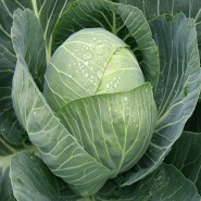Пандион F1 семена капусты белокочанной ультраранней
