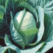 Чекмейт F1 семена капусты белокочанной ранней