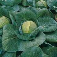 Циклон F1 семена капусты белокочанной средней