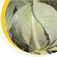 Структон F1 семена капусты белокочанной поздней