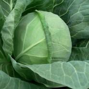 Тиара F1 семена капусты белокочанной ультраранней