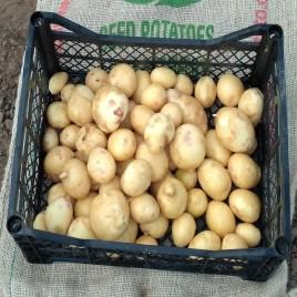 Електра - среднеспелый сорт семенного картофеля 2 репродукции (от 500кг)