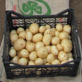 Орла — ультраранний сорт семенного картофеля 1 репродукции (от 500кг)