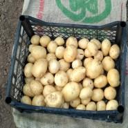Саванна - среднеспелый сорт семенного картофеля 1 репродукции (от 500кг)