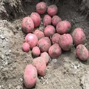 Инфинити — ранний сорт семенного картофеля 2 репродукции (от 500кг)