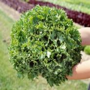 Канкан семена салата тип Фризе