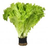 Афицион семена салата  тип Батавия (Rijk Zwaan) высокоурожайный сорт