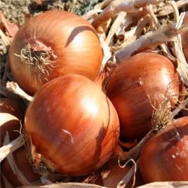 Августа семена лука озимого