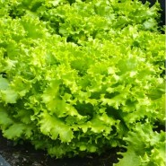 Фанли семена салата тип Листовой ранний (Syngenta)