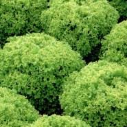 Левистро семена салата тип Лолла Росса дражированые