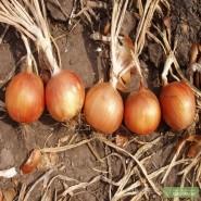 Испаньол семена лука репчатого среднего