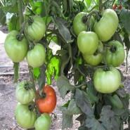 Альянс F1 семена томата