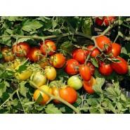 Астерикс F1 семена томата среднего