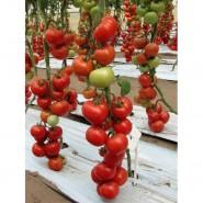 Белле F1 семена томата среднего