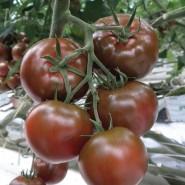 Сашер F1 семена томата ультрараннего