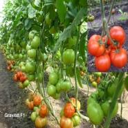 Гравитет F1 семена томата