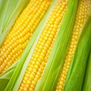 ЛС 889 (LS 889 F1) семена кукурузы суперсладкой