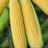 Вега F1 семена кукурузы суперсладкой