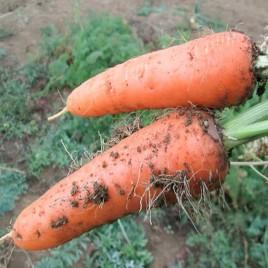 Абако F1 семена моркови Шантане (1,6-1,8)
