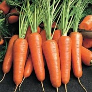 Абако F1 семена моркови Шантане (2,0-2,2)  (Seminis)