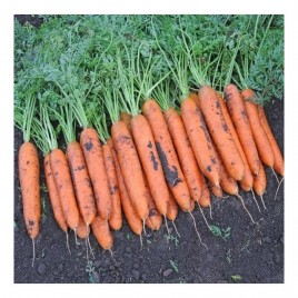 Бангор F1 семена моркови Берликум PR (1,8-2,0 мм)