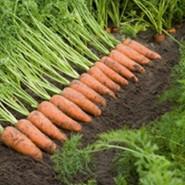 Каскад F1 семена моркови Шантане PR (1,6-1,8 мм)