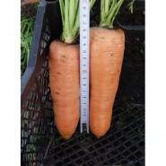 Канада F1 семена моркови Шантане (1,8-2,0 мм)