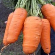 Кантербюри F1 семена моркови Шантане (1,8-2,0 мм) PR