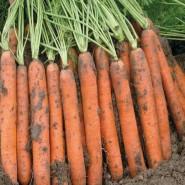 Наполи F1 семена моркови Нантес PR (2,0-2,2 мм)
